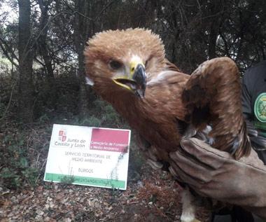 Pollo de Águila Imperial rescatado en Aranda