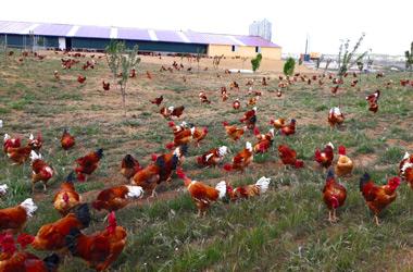Pollos de corral y capones en Caleruega