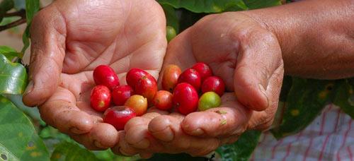 Granos de café procedentes de Comercio Justo