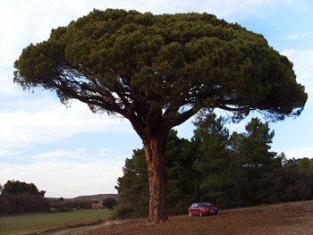 Gran Doncel, 500 años cuidando un árbol