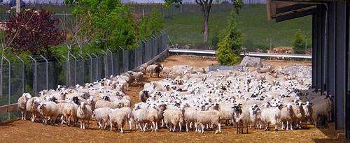 Fotografía: Agencias | Lechazo de la IGP de Castilla y León.