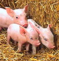 lechon109 No existe el más mínimo problema en consumir carne de cerdo