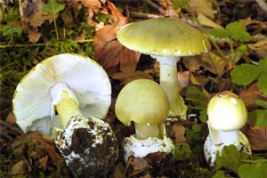Tóxica: Amanita phalloides